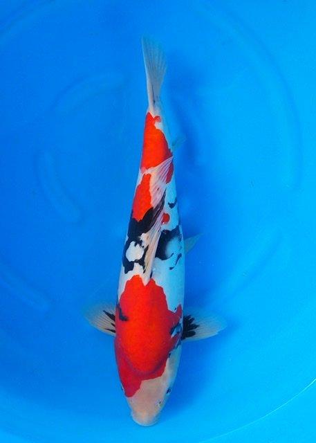 Miyatora 3   (50-55cm)