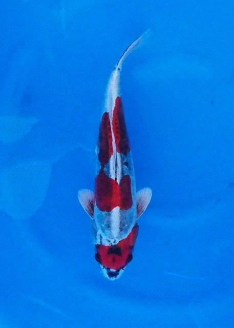Yamazaki 8    (40-45cm)