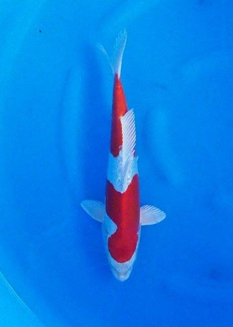 Yamazaki 6   (40-45cm)